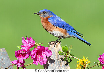 Eastern Bluebird - Male Eastern Bluebird (Sialia sialis) on...