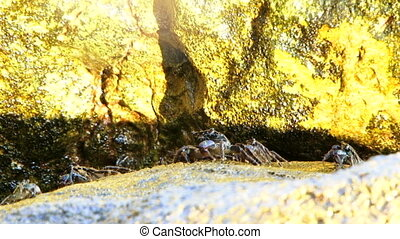 Crabs in the sun - Several marine crabs eat algae between...