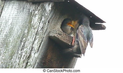 starling feeding in nesting box