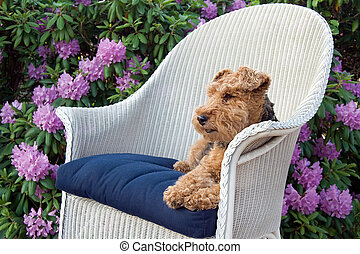 Welsh Terrier - Welsh terrier in white wicker chair in...