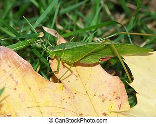 Broad-winged Katydid Microcentrum rhombifolium sits on a...
