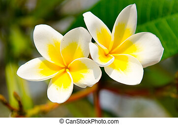 Beautiful frangipani flowers - 2 beautiful frangipani...