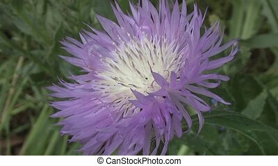 Thistle - Blue Flower - Thistle