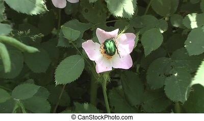 chafer on the flower hips.