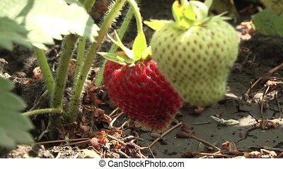 Strawberry - Fresh, ripe strawberries, still on the bush.