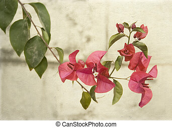 Bougainvillea on grey wall - Pink bougainvillea on grey wall...