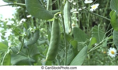 Green Pea, summer in the garden.