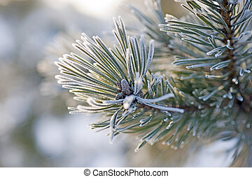 Needles in winter