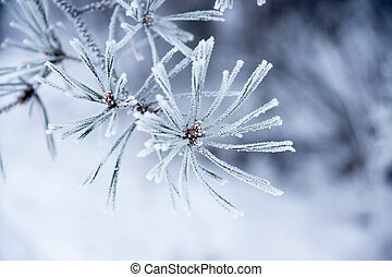 Needles in winter - close up of fir needles with frost