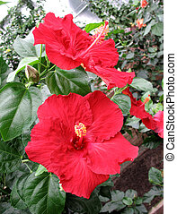 Chinese hibiscus in a garden