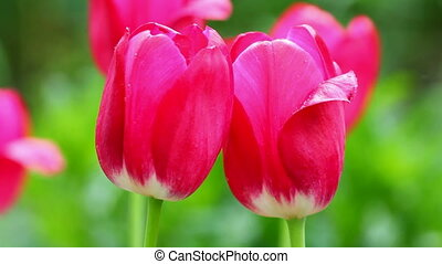 close-up view on bright red tulips