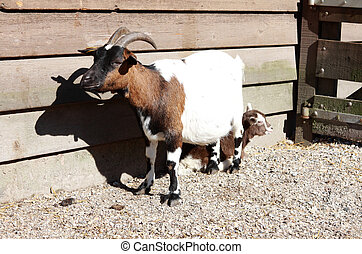 goats - adult goat with baby during sunny day