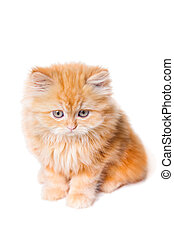 red persian kitten on isolated white background - Lovely...