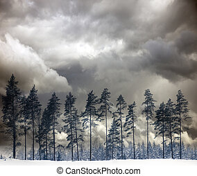 Pine trees in winter - Row of pine trees in winter isolated...