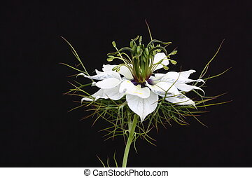 A pale Nigella flower - A Nigella flower on a black...