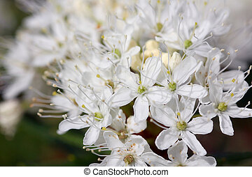 Background of Rhododendron tomentosum (Marsh Labrador Tea) -...