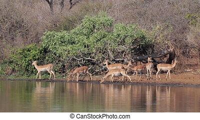Impala antelopes drinking - A group of Impala antelopes...