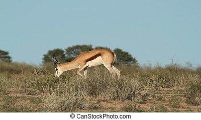 Springbok browsing - Springbok antelopes (Antidorcas...