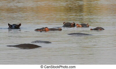 Hippopotamus in water - Group of hippopotamus (Hippopotamus...