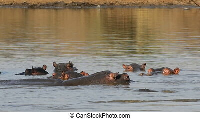 Hippopotamus in water - Group of hippopotamus Hippopotamus...