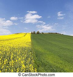 rape field and blue sky in summer