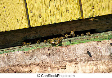 Bees in the entrance to beehive