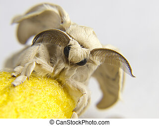 a silk cocoon to a butterfly yellow silkworm - silk cocoon...