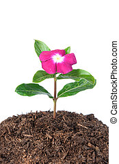 Flower in soil - A beautiful flower growing from a heap of...