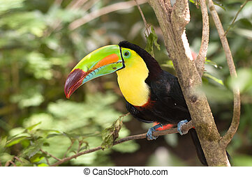 Colorful Toucan - A beautifully colored Toucan sits perched...
