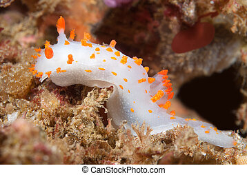 Clown nudibranch - An orange and white clown nudibranch...