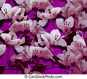 White bougainvillea on pink painted wall