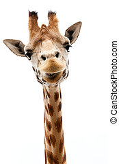 Funny Giraffe - Close-up of a Funny Giraffe on a white...