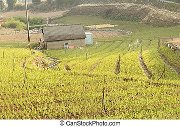 Farm of green onion