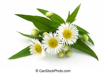 Wood camomile with leaves on a white background