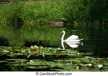 swan sailing on the lake in a forest
