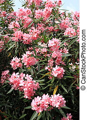 Bush of pink oleander flowers