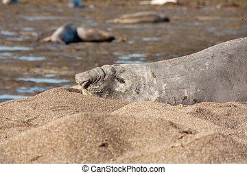 Seal at Peninsula Valdes
