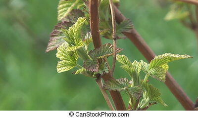 Currants leaves - Close up shot of branch of a spring...