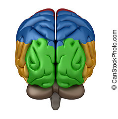Posterior view of the Brain