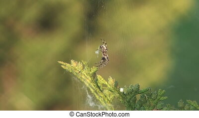 Spider. - Spider in a web wavers on a wind.