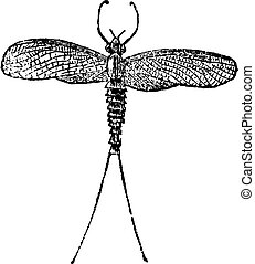 Mayfly or Dayfly or Shadfly or Green Bay Fly or Lake Fly or Fishfly or Midgee or Jinx Fly or Ephemeroptera, vintage engraving
