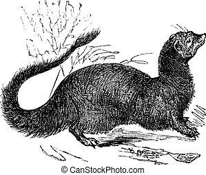 Egyptian Mongoose or Herpestes ichneumon vintage engraving -...