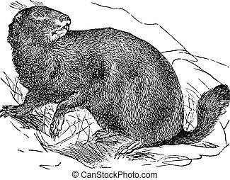 Alpino, marmotta, o, Marmota, Marmota, vendemmia, incisione
