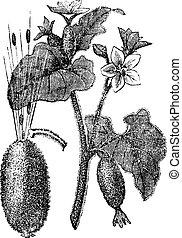 Squirting Cucumber or Exploding Cucumber or Ecballium elaterium, vintage engraving