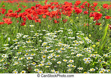 chamomile and poppy flowers