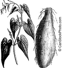 Purple Yam or Dioscorea alata vintage engraving - Purple Yam...
