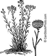 Helichrysum orientale vintage engraving