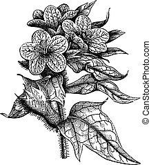 Henbane or Hyoscyamus niger vintage engraving - Henbane or...