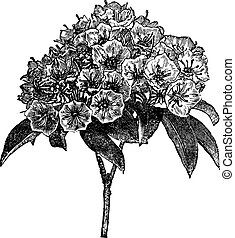 Kalmia latifolia or Mountain-laurel vintage engraving -...
