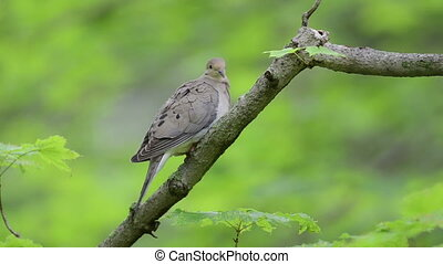 Mourning dove perched on a branch in the woods